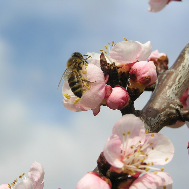 """bee on a flower apricot"" stock image"