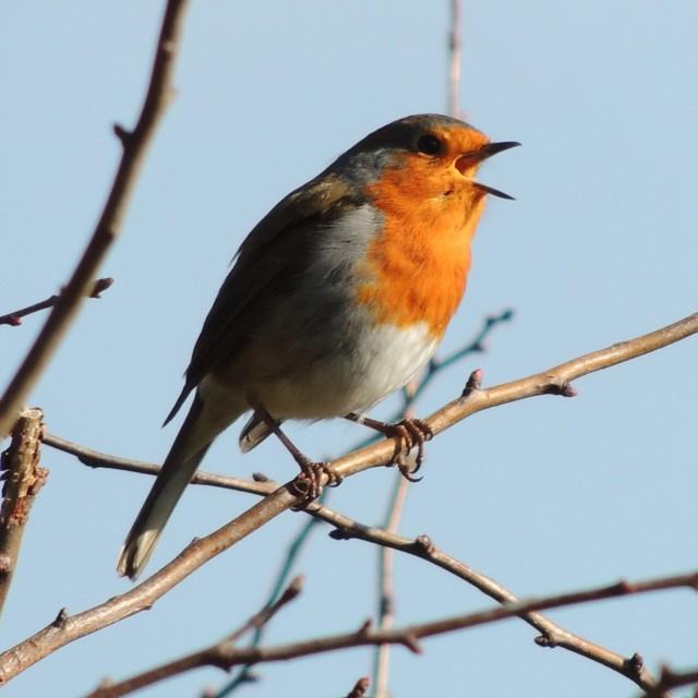 """""""Robin in full voice"""" stock image"""