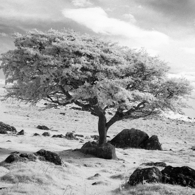 """Dartmoor Tree"" stock image"