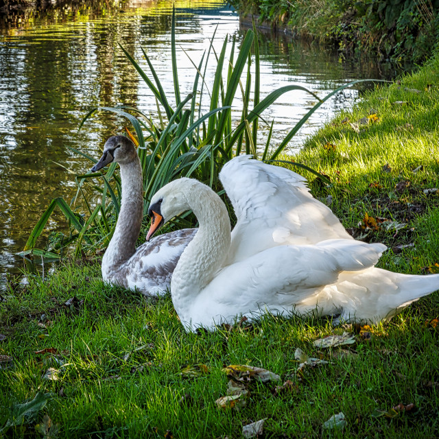 """two swans"" stock image"
