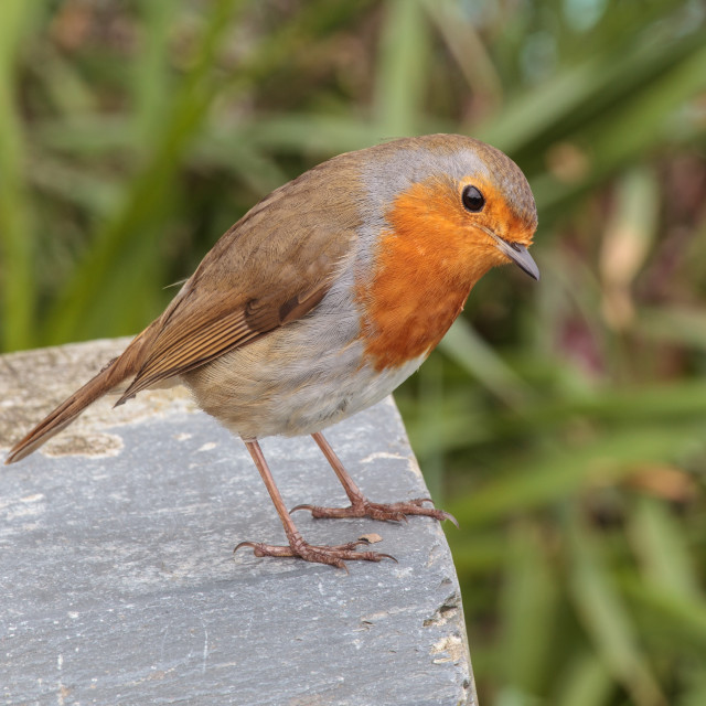 """the Robin"" stock image"