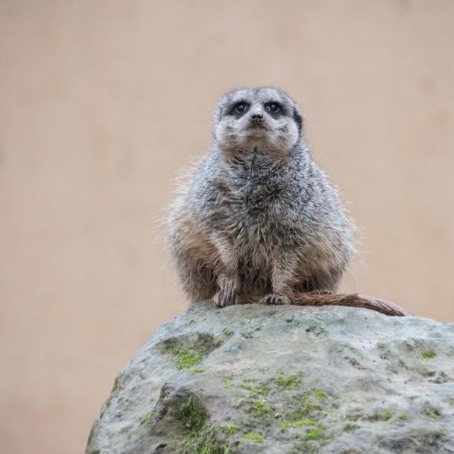 """""""Meerkat on rock"""" stock image"""