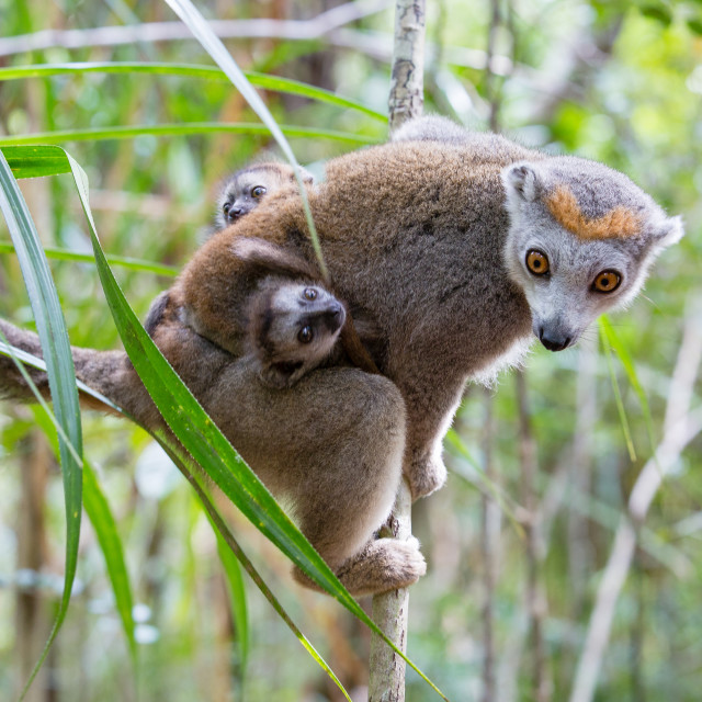 """Crowned Lemur with young"" stock image"