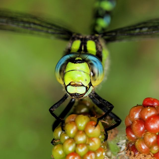 """Southern Hawker"" stock image"