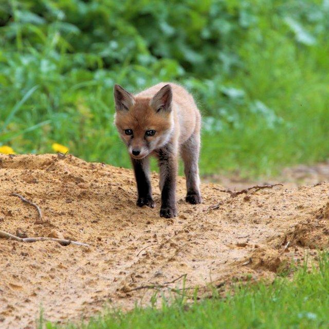 """Fox Cub"" stock image"