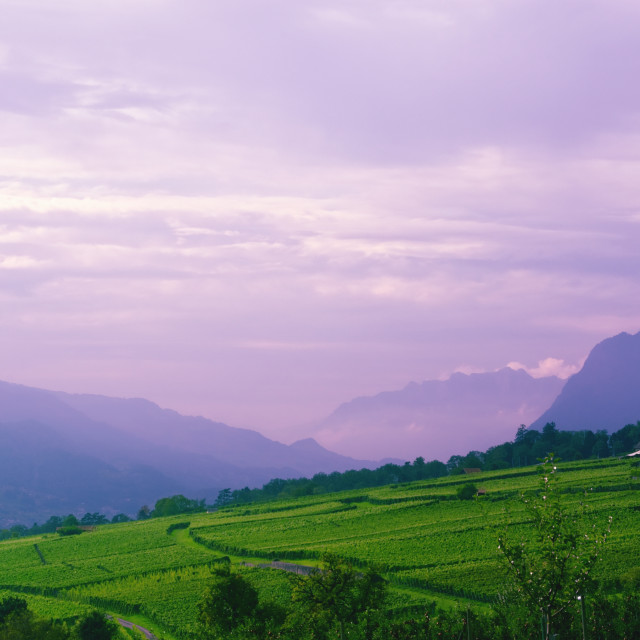 """Vineyards in Rhine Valley (Switzerland) with Grapes Ripening"" stock image"