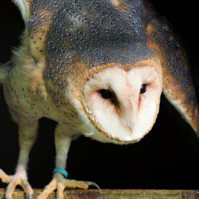 """American Barn Owl"" stock image"