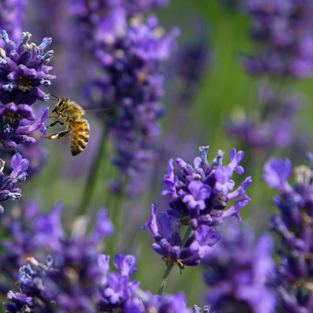 """Lavender Bee"" stock image"
