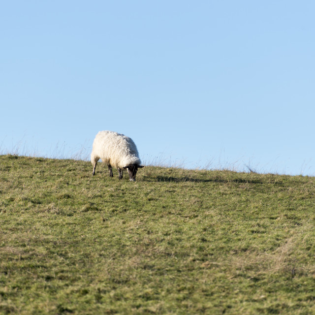 """Hilltop sheep"" stock image"