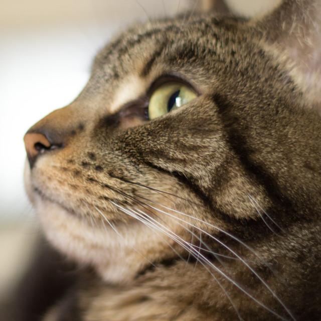 """Tabby Cat Profile"" stock image"