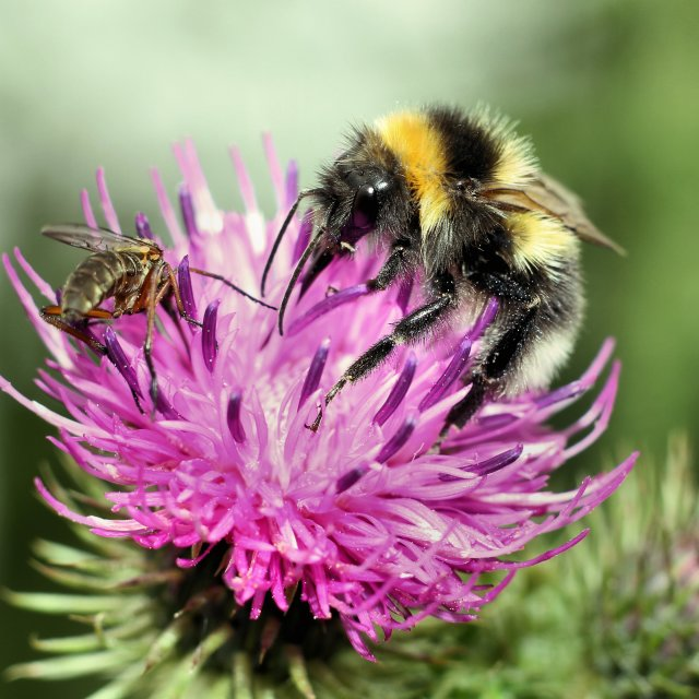"""Buff-tailed Bumblebee"" stock image"