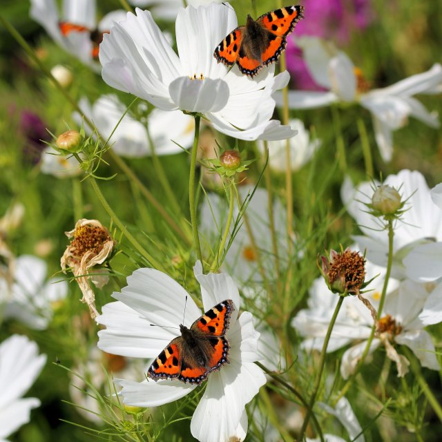 """""""Butterflies on White Flowers"""" stock image"""