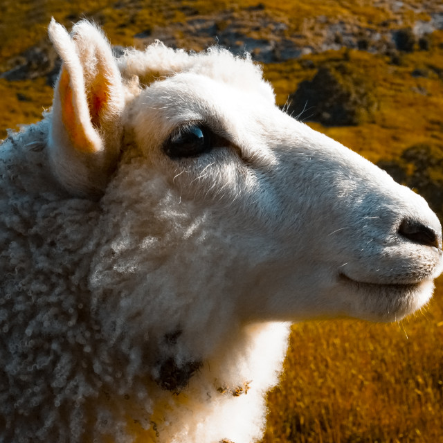 """Rambo the sheep - NZ"" stock image"