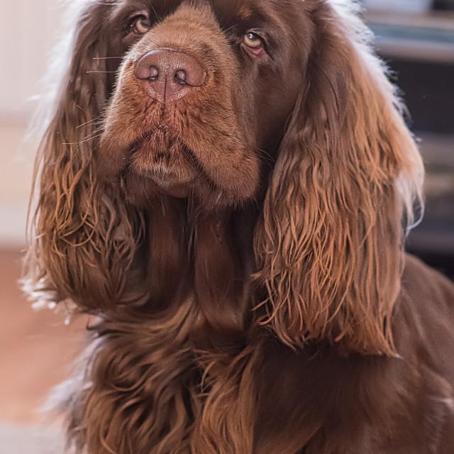 """Sussex Spaniel Portrait"" stock image"