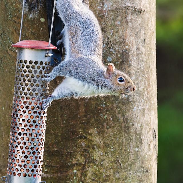 """""""Squirrel Nut Thief"""" stock image"""