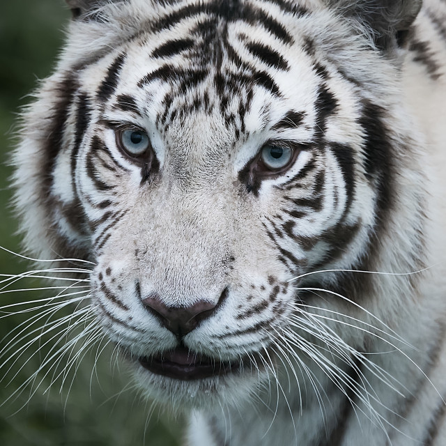 """""""White Bengal Tiger"""" stock image"""