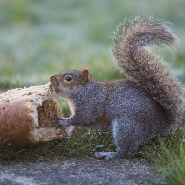 """Squirrel feeding"" stock image"
