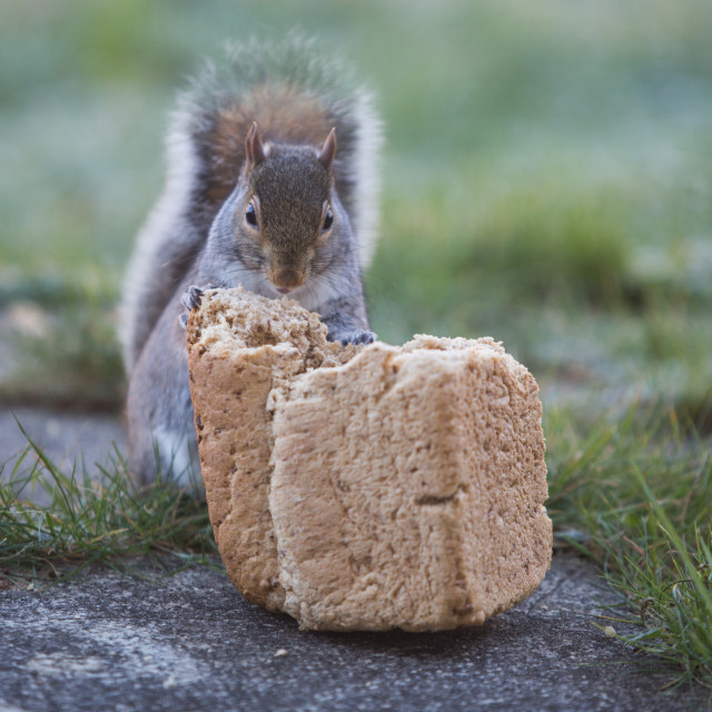 """Squirrel feeding"" stock image"