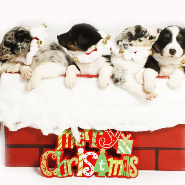 """Christmas Puppies"" stock image"