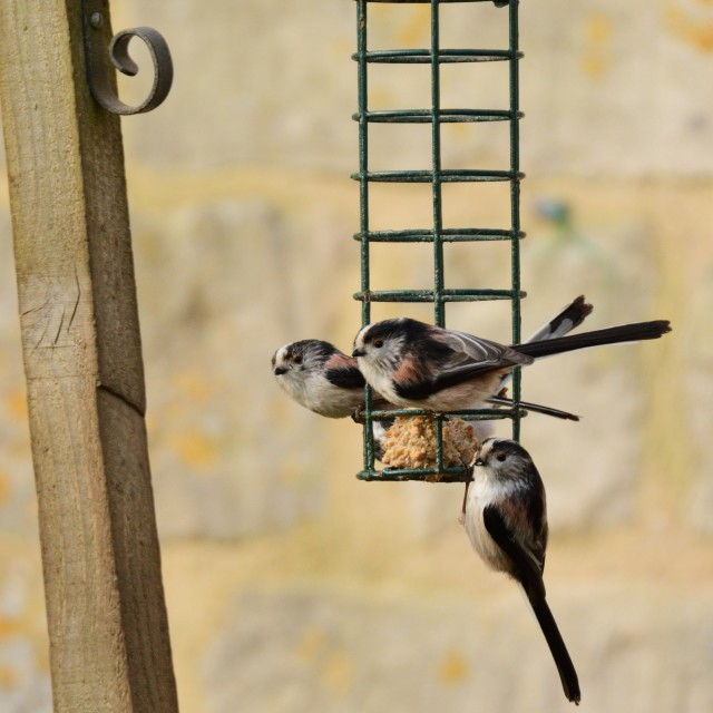 """Long Tailed Tits"" stock image"