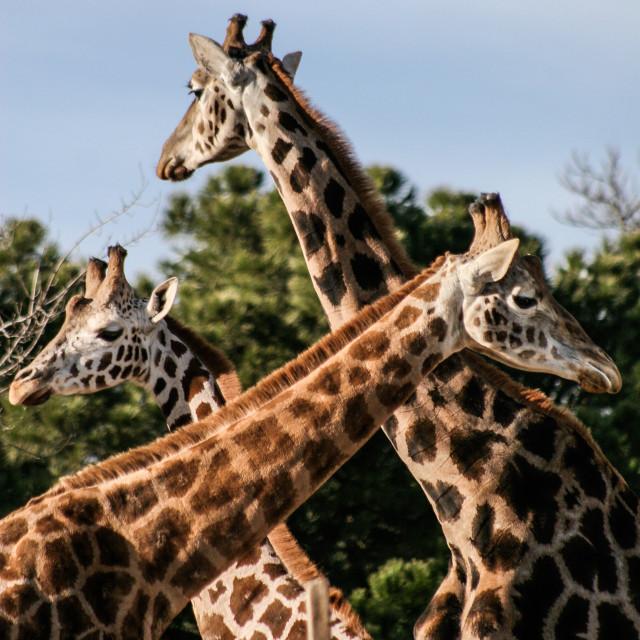 """""""Three Giraffes"""" stock image"""