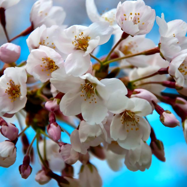 """""""Sakura Festival Cherry Blossoms"""" stock image"""