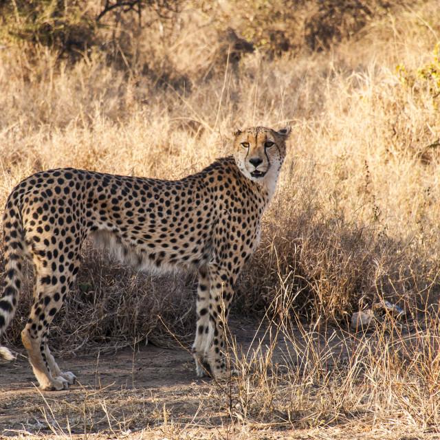 """Kruger National Park - Male Cheetah"" stock image"