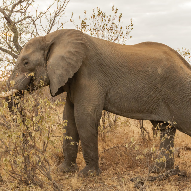 """Kruger National Park - Elephant"" stock image"