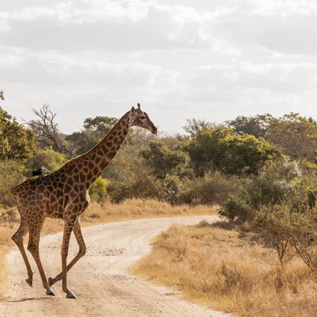 """Kruger National Park - Giraffe"" stock image"