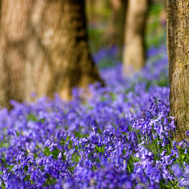 """Bluebells in a Woodland setting"" stock image"