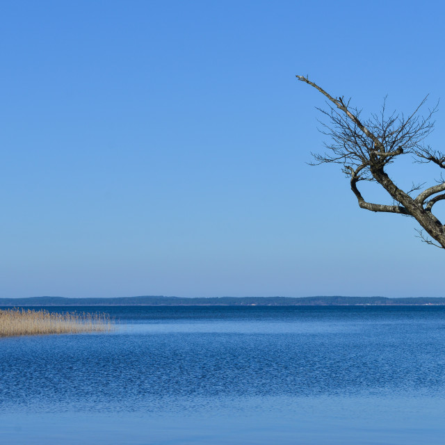 """Dead tree on the edge of a lake"" stock image"