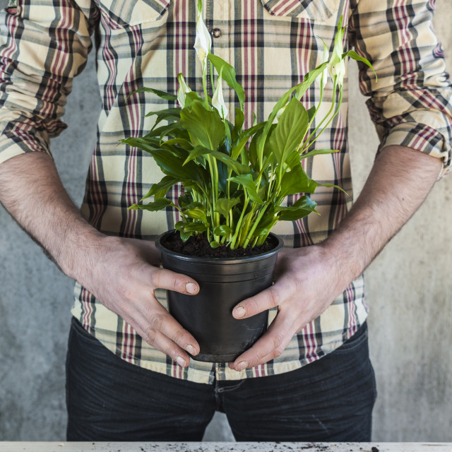 """""""Man holding a calla plant in a flower pot"""" stock image"""