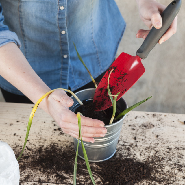 """Woman taking soil to fill a potted plant"" stock image"