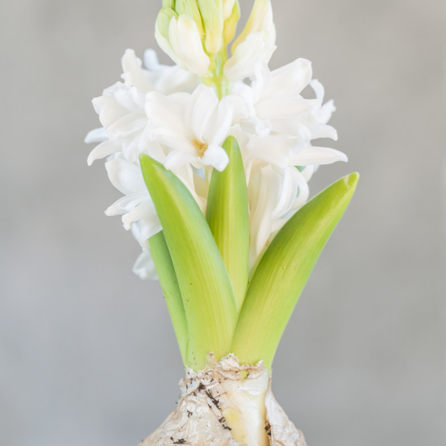 """White hyacinth flower"" stock image"