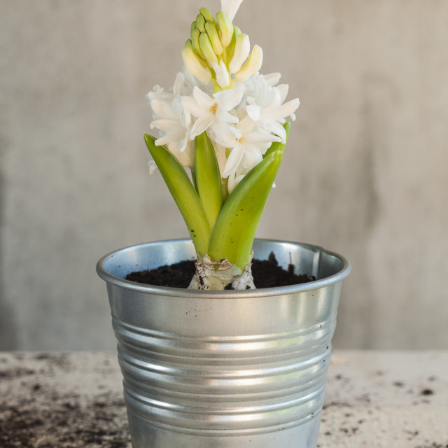 """White hyacinth flower recently planted on a little pot"" stock image"