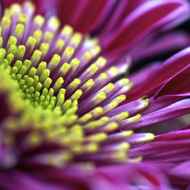 """Chrysanthemum"" stock image"