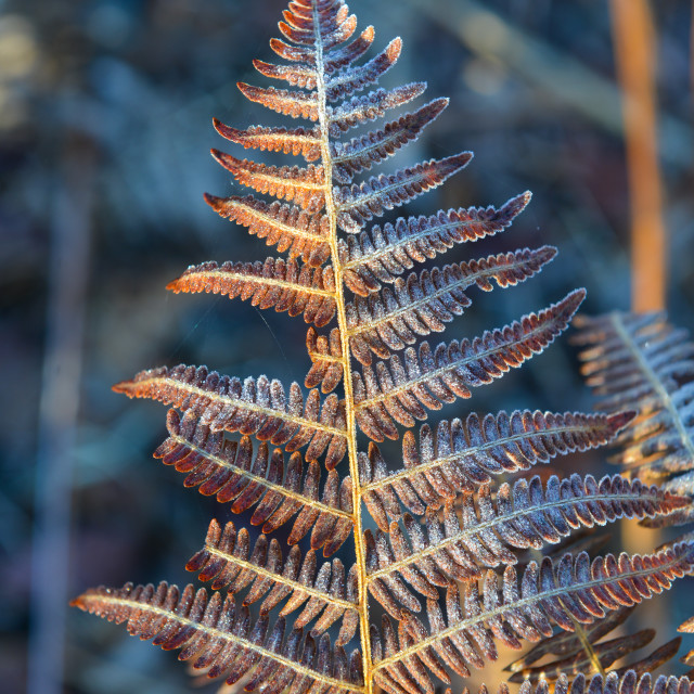 """""""Fern leaf frost in the early morning in a wood"""" stock image"""