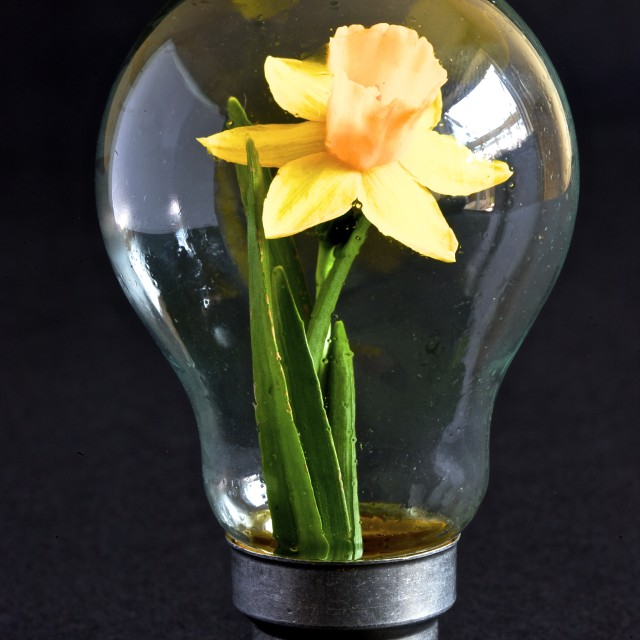 """Daffodil bulb"" stock image"