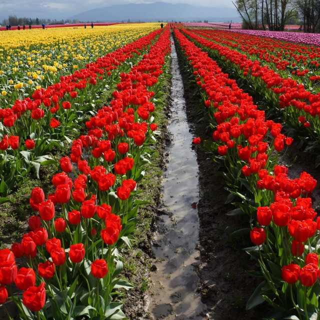 """Washington tulip season"" stock image"