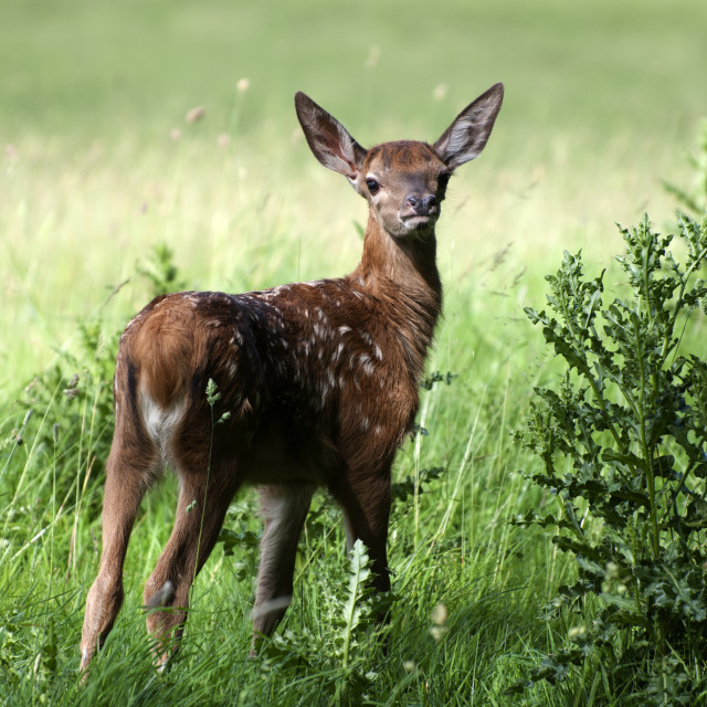 """""""Red Deer Fawn"""" stock image"""