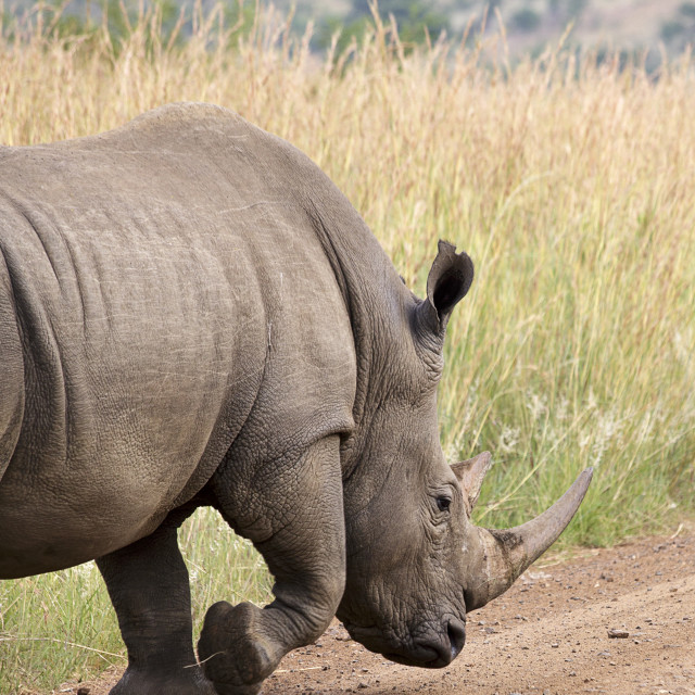 """A Rhinoceros in an African Game Park"" stock image"