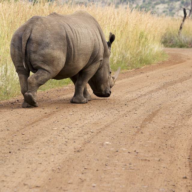 """""""A Rhinoceros in an African Game Park"""" stock image"""