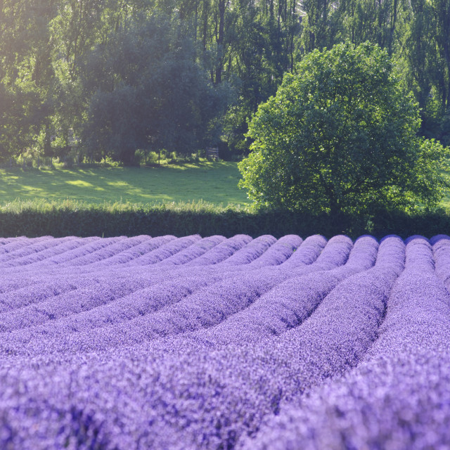 """Lavender field"" stock image"