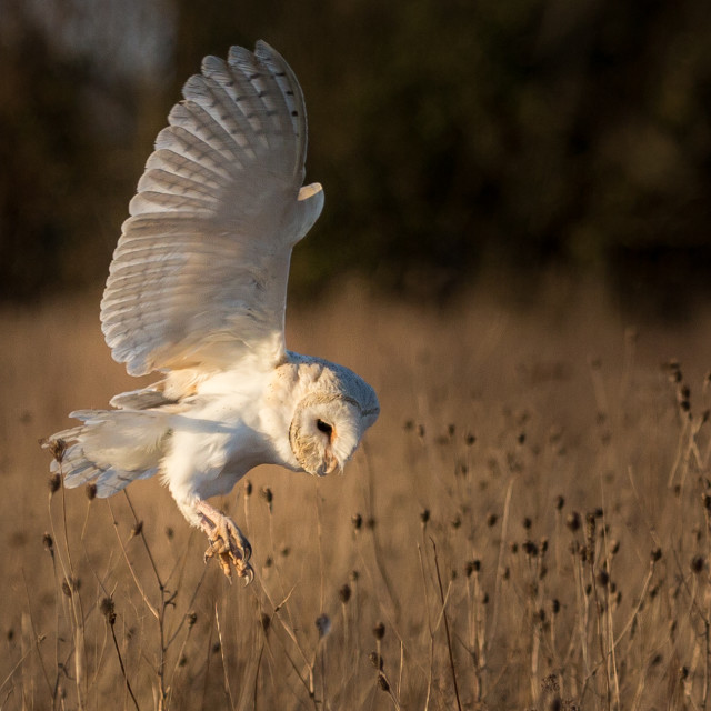 """Hunting Barn Owl"" stock image"