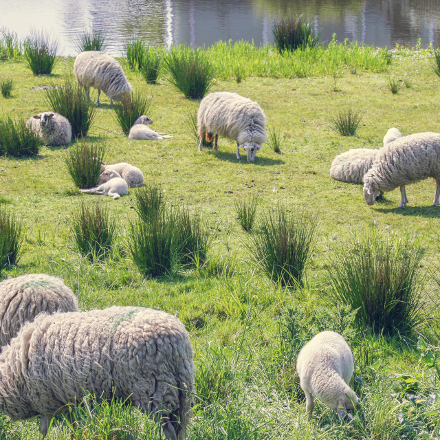 """Flock of sheep"" stock image"