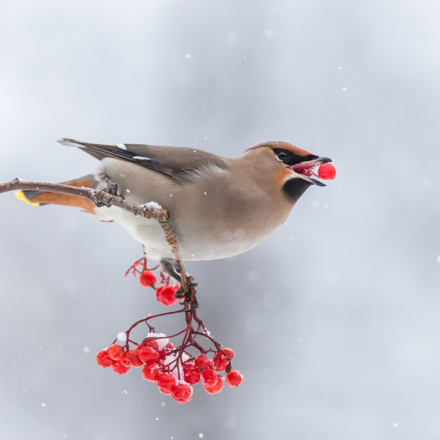 """Waxwing on the berries"" stock image"