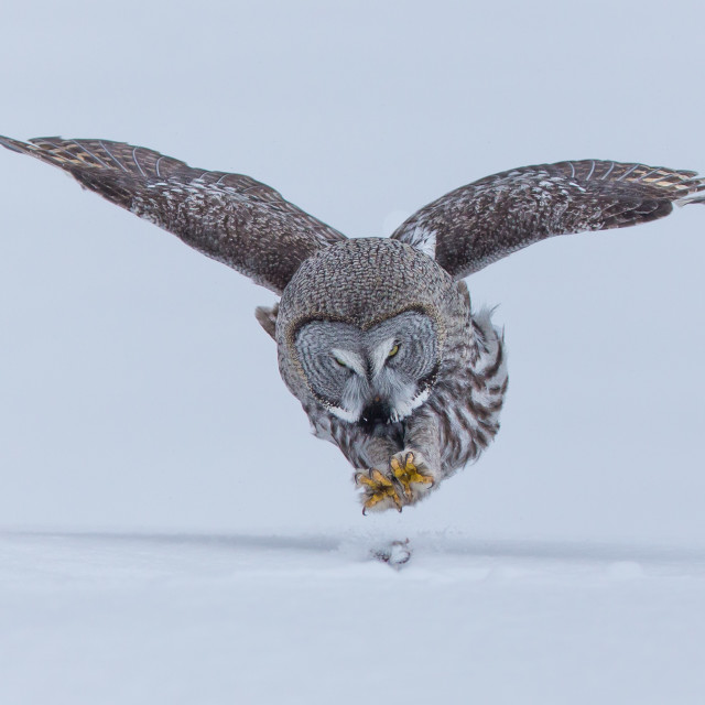 """""""Great Grey Owl pouncing"""" stock image"""