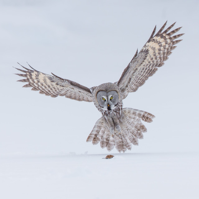 """Great Grey Owl hunting"" stock image"