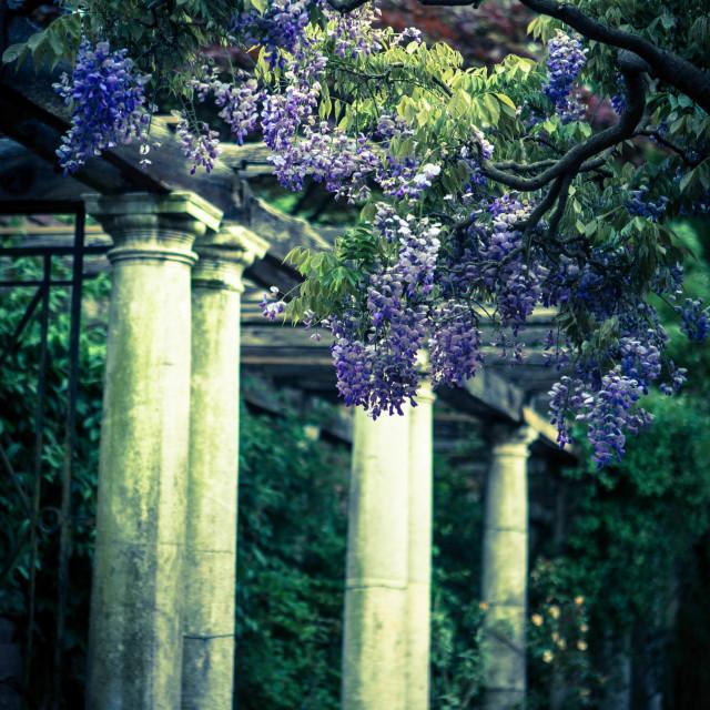 """wistful wisteria"" stock image"