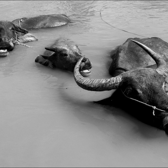 """Water Buffalo"" stock image"